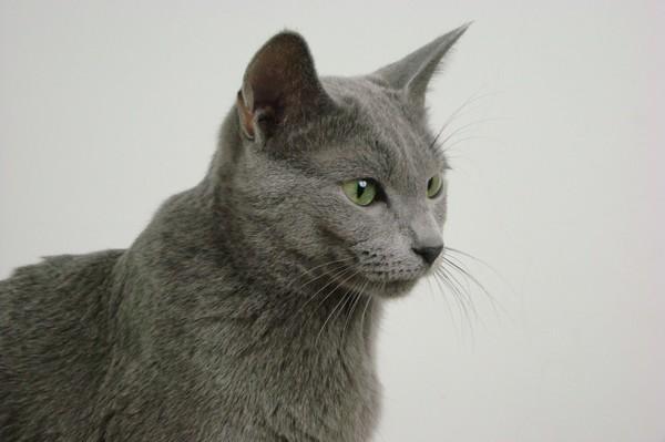 Blue Norwegian Forest Cat
